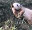 大熊猫七仔