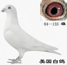 信鸽——美国白鸽