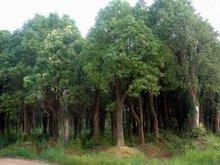 香樟树相册