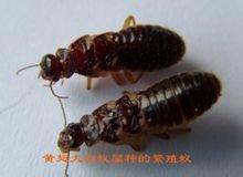 繁殖蟻(標本)