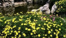 【亚搏体育平台】黄金菊