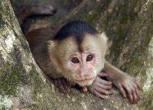 南美洲玻利维亚候_卷尾猴_360百科