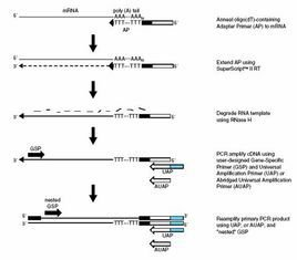 cDNA文库