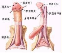 男性生殖器