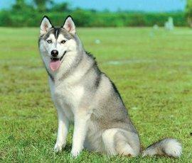 哈士奇饲养方法_西伯利亚雪橇犬_360百科
