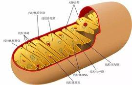 线粒体DNA