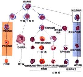 血细胞的生成