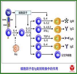 特异性免疫球蛋白