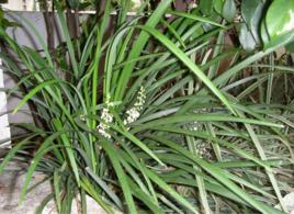 单子叶植物
