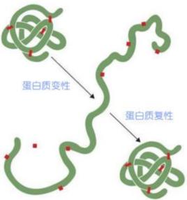 蛋白质变性