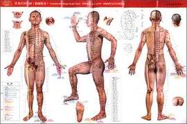 人体针灸穴位挂图