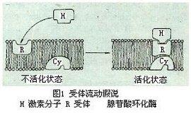 细胞膜受体