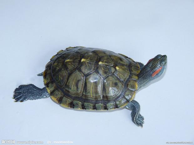 宠物乌龟的种类 乌龟品种介绍图片