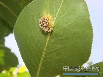 健康知识 梨树叶病变      这是梨锈病梨锈病又称赤星病,我国南北果区